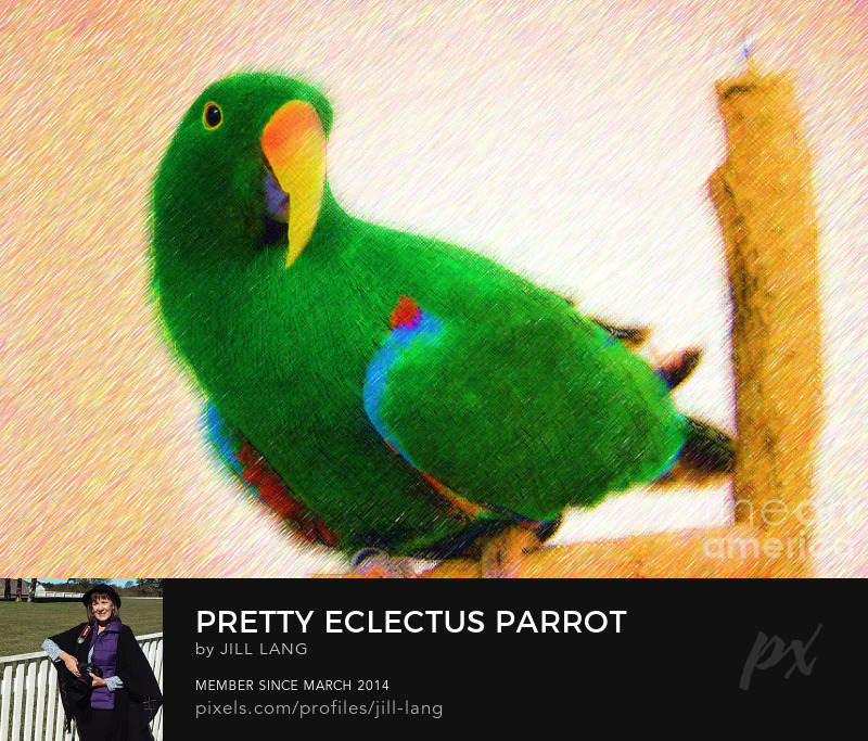 Eclectus Parrot in Color Pencil