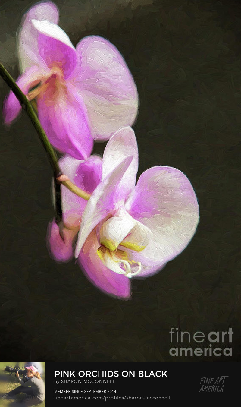 Pink Orchids Black Background Vertical Fine Art Photography Sharon McConnell