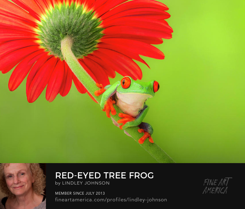 red eyed tree frog by lindley johnson