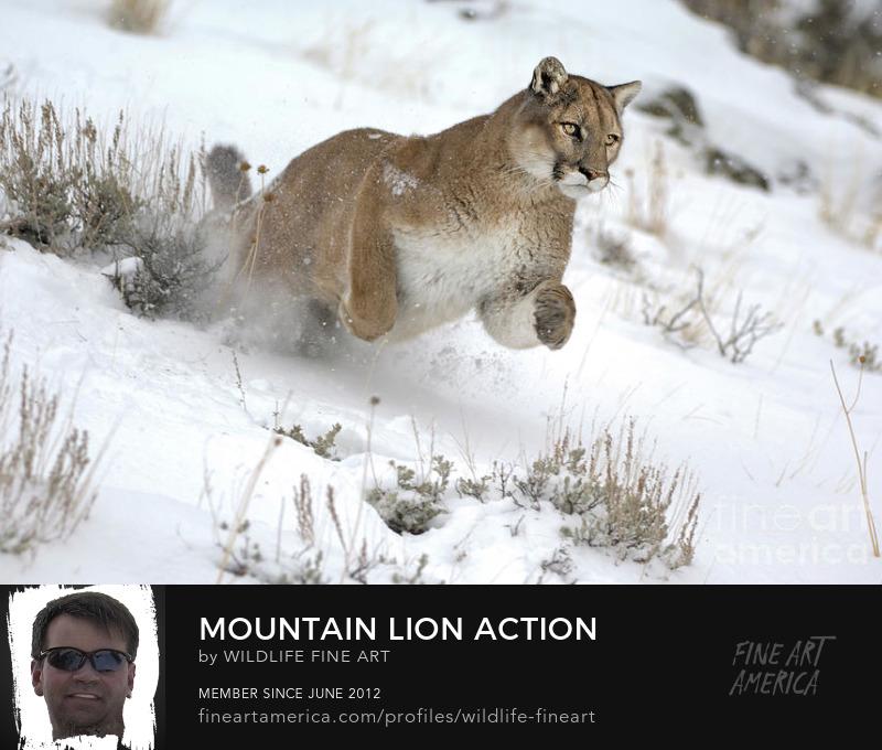 Mountain lion Art Prints