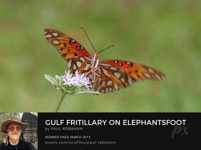 View online purchase options for Gulf Fritillary on Elephantsfoot by Paul Rebmann