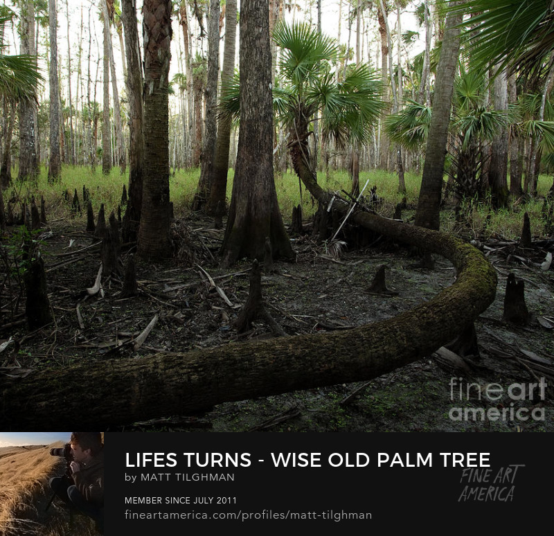 Life's Turns Wise Old Cabbage Palm Art Prints