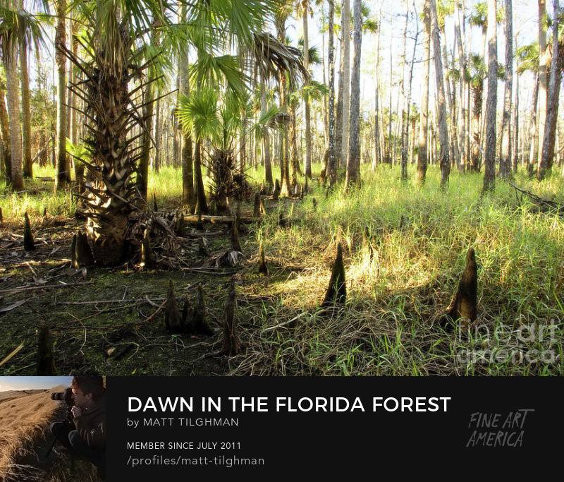 Dawn in the Florida Forest Art Online