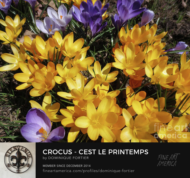 "Crocus - C'est le printemps is a photograph by Dominique Fortier which was uploaded on January 10th, 2018. Photography Prints. Buy here on this fineartamerica page, or shop and buy more of my products like round beach towels, beach towels, beach sheets, weekender tote bags, cary-all pouches, portable battery chargers etc., at: dominique-fortier.pixels.com. For Canadian and Quebec customers: There is a Print-On-Demand Manufacturing Location in TORONTO, Canada, that delivers the following products (prints, posters, canvas prints, framed prints) throughout Canada, so you save on shipping costs (you see your order in Canadian money), and it speeds up delivery times. To Quebec and/or Francophone customers/aficionados/boutique owners GREETING CARD BUYERS/RETAILERS: Almost all of my artworks come bilingual in the following format: French Title / English Title (the actual 'Artwork Name' that will appear printed in bold face at the back of each Greeting Card). The exact correctly spelled/written title in French, that is WITHOUT CAPS ALL OVER (e.g. articles, etc.), can be seen under the thumbnails in the 'Images' tab/section. So don't hesitate to buy and offer my cards, as they are FREE of mistakes (I am a French Editor, and I worked several years in a bilingual publishing environment (English-French / French-English) as an in-house French Editor at the Canadian Museum of History (former Canadian Museum of Civilization) - the most visited museum in Canada -, located in the Ottawa region, CANADA). Copyright: All rights reserved, 2014 THE FINE ART AMERICA WATERMARK WILL NOT APPEAR ON ANY PURCHASED PRODUCT. Welcome on my page. I am marvelled at the smallest beautiful thing I see. First, my eyes see, simply. Then it progresses (sometimes quickly, sometimes slowly) deeply into my soul, touches me, fills me with wonder, and makes me react. It creates memories and feelings that make my life happy. I began several years ago to paint watercolor, this medium being convenient while travelling, as well as shooting photos. My sites: To see, shop and buy my extra products like round beach towels, beach towels, beach sheets, weekender tote bags, cary-all pouches, portable battery chargers, go to: dominique-fortier.pixels.com http://www.revisionpro.ca/blogue Follow me on Twitter: https://twitter.com/LautLautre Follow me on Pinterest: https://www.pinterest.com/ImpaLautre/ Copyright Notice: All images produced by the artist are original, published, copyrighted, and protected by U.S. and international copyright laws, all rights reserved. No image is or should be part of public domain. The images may not be copied, reproduced, manipulated or used in any way, without written permission of (copyright) Dominique Fortier. Any unauthorized usage will be prosecuted to the full extent of U.S. Copyright Law. Please ask permission before using or recreating my work as all is under the guidance of a legal advisor. No image is from a royalty free website or file. Any original image on this website obtained from other artists/photographers meets or exceeds 100 years and has been given proper credit to showcase their talent. Photograph - Photography. In Northern countries, the Spring comes in April-May. It's the time to enjoy the first flowers to grow after the snow has just gone. And the little crocus is simply lovely. How can we resist to such beauty. The English version of this work is entitled ""Crocus - It Is Spring"" THE FINE ART AMERICA WATERMARK WILL NOT APPEAR ON ANY PURCHASED PRODUCT. Dominique Fortier has created this artwork suitable for 7"" x 5"" Greeting Cards and Prints up to 60.000"" x 45.000"". Buy your iPhone or Samsung Galaxy case as well as THROW PILLOWS and other apparels featuring this art at: http://dominique-fortier.pixels.com/ Copyright Dominique Fortier, 2015. All rights reserved. Featured on the Homepage of: 14- ""Global Flowers Photography"" (10/21/2017) 13- ""500 and Beyond Fine Art Group"" (03/09/2017) ""Visions of Spring - Glances of Summer"" (03/07/2017) 12- ""500 Views -1 Image A Day"" (10/01/2016) 11- ""500 Views Share Group"" (10/24/2015) 10- ""Premium FAA Artists"" (06/08/2015) 9- ""Beauty"" (05/2015) 8- ""Images That Excite You"" (04/2015) 7- ""Flower Mania"""" (2015) 6- ""Beautiful Flowers"" (2015) 5- ""Digital Magic"" (02/09/2015) 4- ""10 Plus"" (2015) 3- ""Spring Flowers"" (2015) 2- ""T100 Throw Pillow"" (2015) 1- ""T100 Qualitative SHARE SHARE ARTISTS"" (2015) Thanks to the group hosts for their encouragement and support. springtime, spring time, crocus, season, crocuses, croci, flower, easter colors, dark mauve, mauve, pale mauve, purple, hope, beauty, thoughts, violet, spring, renewal, yellow, bright yellow, stemens, macro, small flower, spring-flowering plant, plant, iris family, iridaceae, genus crocus, small plant, dominique fortier, quebec city, quebec, photograph, photography, art for sale. The English version of the greeting card is entitled ""Crocus - It Is Spring""."