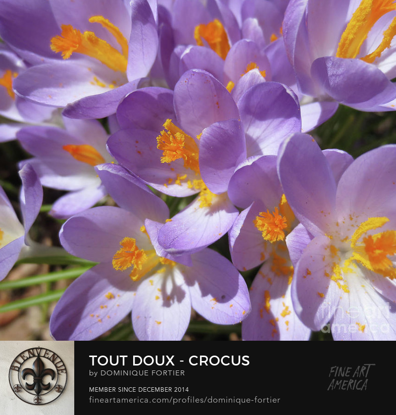 "Tout doux - Crocus is a photograph by Dominique Fortier which was uploaded on January 10th, 2018. Photograph - Photography. Buy here on this fineartamerica page, or shop and buy more of my products like round beach towels, beach towels, beach sheets, weekender tote bags, cary-all pouches, portable battery chargers etc., at: dominique-fortier.pixels.com. For Canadian and Quebec customers: There is a Print-On-Demand Manufacturing Location in TORONTO, Canada, that delivers the following products (prints, posters, canvas prints, framed prints) throughout Canada, so you save on shipping costs (you see your order in Canadian money), and it speeds up delivery times. To Quebec and/or Francophone customers/aficionados/boutique owners GREETING CARD BUYERS/RETAILERS: Almost all of my artworks come bilingual in the following format: French Title / English Title (the actual 'Artwork Name' that will appear printed in bold face at the back of each Greeting Card). The exact correctly spelled/written title in French, that is WITHOUT CAPS ALL OVER (e.g. articles, etc.), can be seen under the thumbnails in the 'Images' tab/section. So don't hesitate to buy and offer my cards, as they are FREE of mistakes (I am a French Editor, and I worked several years in a bilingual publishing environment (English-French / French-English) as an in-house French Editor at the Canadian Museum of History (former Canadian Museum of Civilization) - the most visited museum in Canada -, located in the Ottawa region, CANADA). Copyright: All rights reserved, 2014 THE FINE ART AMERICA WATERMARK WILL NOT APPEAR ON ANY PURCHASED PRODUCT. Welcome on my page. I am marvelled at the smallest beautiful thing I see. First, my eyes see, simply. Then it progresses (sometimes quickly, sometimes slowly) deeply into my soul, touches me, fills me with wonder, and makes me react. It creates memories and feelings that make my life happy. I began several years ago to paint watercolor, this medium being convenient while travelling, as well as shooting photos. My sites: To see, shop and buy my extra products like round beach towels, beach towels, beach sheets, weekender tote bags, cary-all pouches, portable battery chargers, go to: dominique-fortier.pixels.com http://www.revisionpro.ca/blogue Follow me on Twitter: https://twitter.com/LautLautre Follow me on Pinterest: https://www.pinterest.com/ImpaLautre/ Copyright Notice: All images produced by the artist are original, published, copyrighted, and protected by U.S. and international copyright laws, all rights reserved. No image is or should be part of public domain. The images may not be copied, reproduced, manipulated or used in any way, without written permission of (copyright) Dominique Fortier. Any unauthorized usage will be prosecuted to the full extent of U.S. Copyright Law. Please ask permission before using or recreating my work as all is under the guidance of a legal advisor. No image is from a royalty free website or file. Any original image on this website obtained from other artists/photographers meets or exceeds 100 years and has been given proper credit to showcase their talent. These light and sweet mauve crocus adorned with strong-yellow stemens are seen in the city landscape during Spring, that, in Quebec City (Quebec Province, Canada), comes in April-May. They give an incredible softness to the eyes, and these specific colors (mauve and yellow) are associated, to me, to the Easter time, when Mom would sew some Spring-Easter coat and accessories going with in fabric these colors. THE FINE ART AMERICA WATERMARK WILL NOT APPEAR ON ANY PURCHASED PRODUCT. Dominique Fortier has created this artwork suitable for 7"" x 5"" Greeting Cards and Prints up to 48.000"" x 41.375"". Buy your iPhone or Samsung Galaxy case as well as SHOWER CURTAINS and other apparels featuring this art at: http://dominique-fortier.pixels.com/ Copyright Dominique Fortier, 2015. All rights reserved. Featured on the Homepage of: 1- ""FAA Gallery Home for All Artists Who Create"" (03/24/2018) Thanks to the group hosts for their encouragement and support. light and soft flower, crocus, flower, nature, joy of eye flower, delicate flower, spring, springtime, stemens, yellow stemens, mauve petals, easter reminder, easter colors, soft color, pale color, purple, pale purple color, mauve, spring announcement, feeling of softness, feeling of tenderness, feeling of affection, feeling of love, love, tenderness, affection, tenderly wish, wish tenderly, beauty, lightness, quebec city, quebec, canada, emotion, flower to offer, coffe mug, mug, wall art, photograph, photography, art for sale The English version of the greeting card is entitled ""Crocus - Light and Soft"", showcased on the following FAA groups' homepage: 19- ""Over 2000 Views"" (10/14/2017) 18- ""Pictures for Present"" (03/25/2017) 17- ""Images That Excite You!"" (03/25/2017) 16- Special Feature in the Fine Art America group ""AAA Images"" for a three weeks period starting 03/21/2017 15- ""Visions of Spring - Glances of Summer"" (03/05/2017) 14- ""Global Flowers Photography"" (11/25/2016) 13- ""Macro Photography Group"" (06/21/2016) 12- ""All Natural Beauty of This World"" (06/20/2016) 11- ""All Springtime Photography"" (03/14/2016) 10- ""Elite Artists"" (01/23/2016) 9- ""Top 10 winners for July 2015 Special featuring"" in the Fine Art America group ""Collectors Gallery"" (06/20/2015) 8- ""Macro Marvels"" (05/31/2015) 7- ""500 Views Share Group"" (05/28/2015) 6- ""Canadian Digital Abstract Art"" (Spring 2015) 5- ""Best Image Promotion (05/23/2015) 4- ""Flower Mania"" (05/19/2015) 3- ""International Women Artists"" (05/16/2015) 2- ""Beautiful Flowers"" (02/21/2015) 1- ""Digital Magic"" (02/22/2015) Thanks to the group hosts for their encouragement and support. The English greeting card ""Crocus - Light and Soft"" is a photograph by Dominique Fortier which was uploaded on February 20th, 2015."