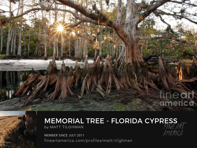 Memorial Sunrise Florida Cypress Swamp Photography Prints