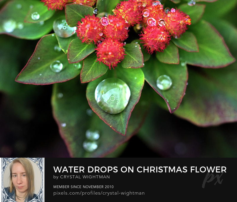 Water drops on a red and green plant for a Christmas theme.