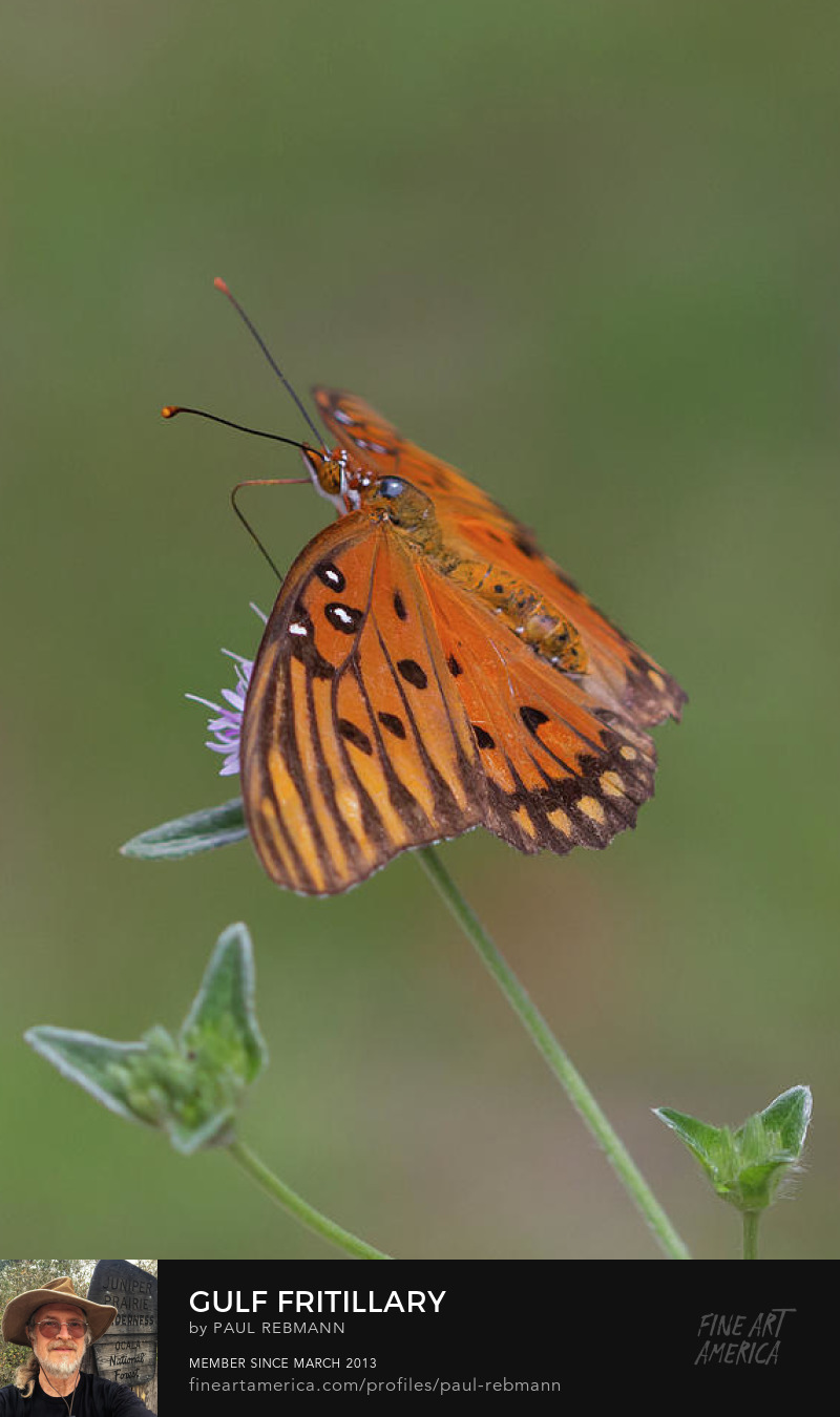 View online purchase options for Gulf Fritillary on Elephantsfoot #2 by Paul Rebmann