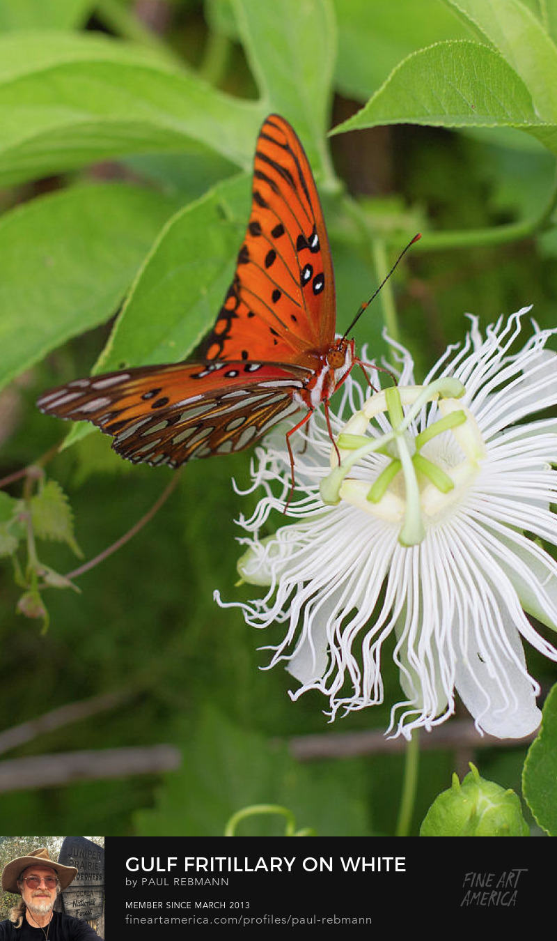 View online purchase options for Gulf Fritillary on White Passionflower by Paul Rebmann