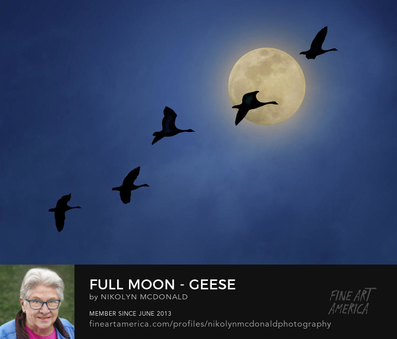 night sky with canada geese and moon by nikolyn mcdonald