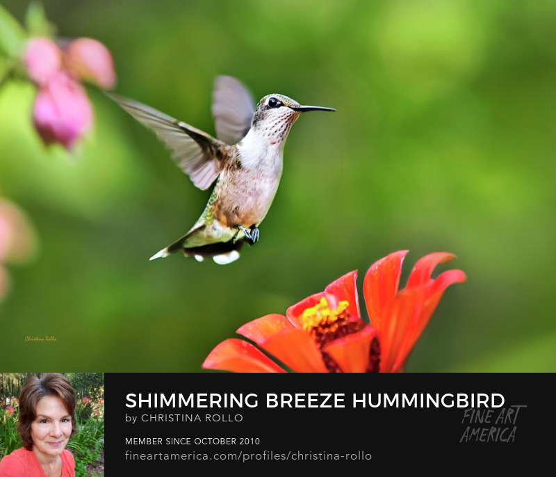 Shimmering Breeze Hummingbird