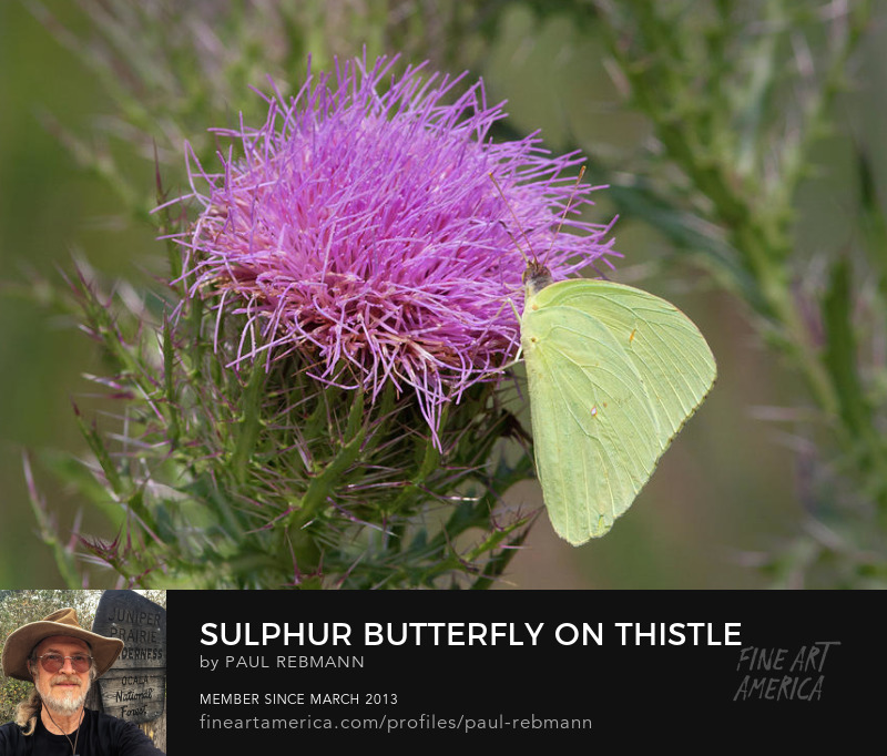 View online purchase options for Sulphur Butterfly on Thistle by Paul Rebmann