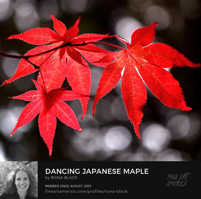 Dancing Japanese Maple photograph by Rona Black