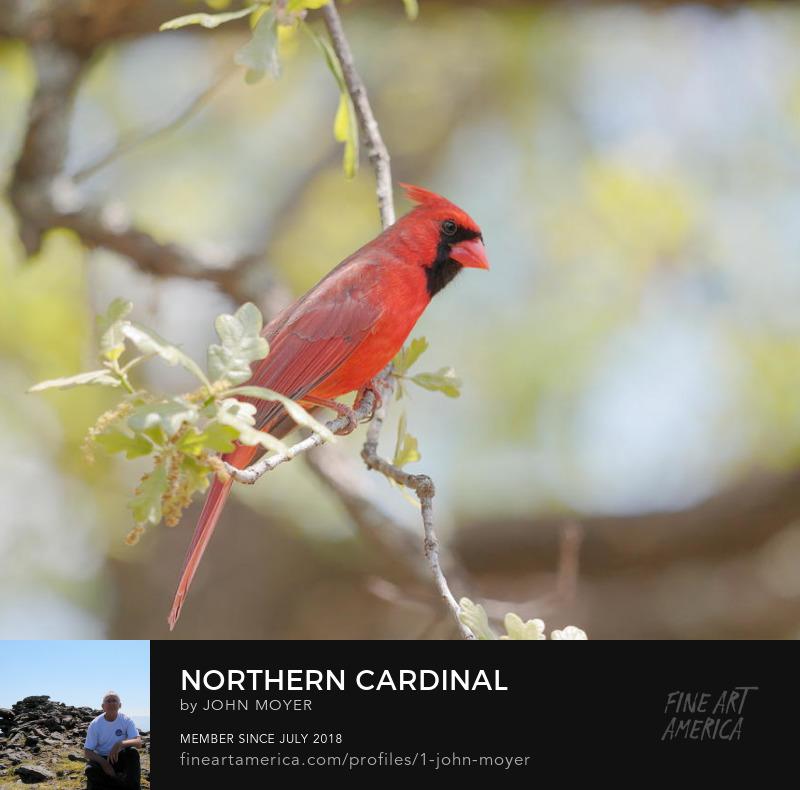 Northern Cardinal (Cardinalis cardinalis), Apr. 29, 2018, Copyright http://www.rsok.com/~jrm/ All rights reserved.