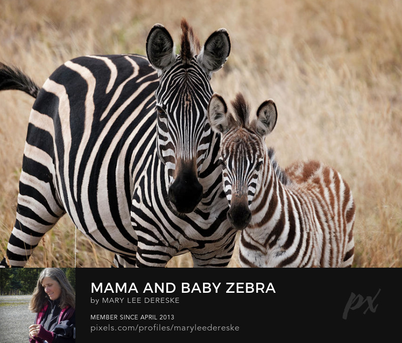 mama-and-baby-zebra-mary-lee-dereske