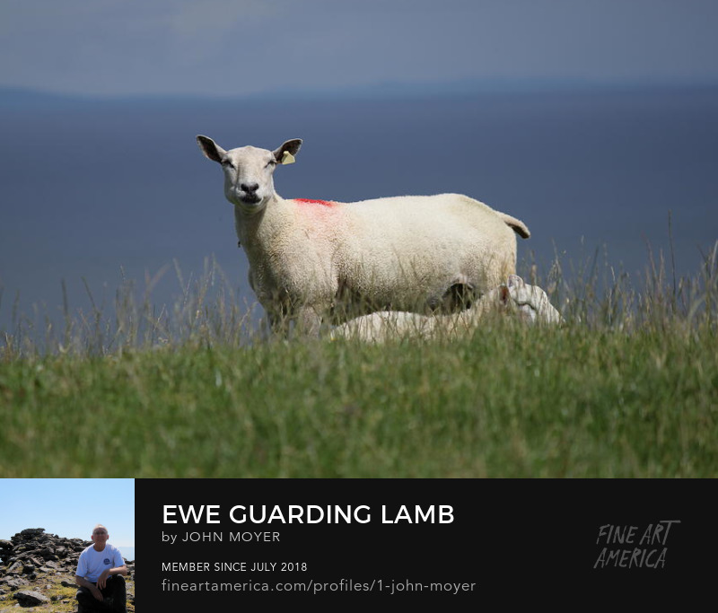 Ewe guarding lamb in Ireland
