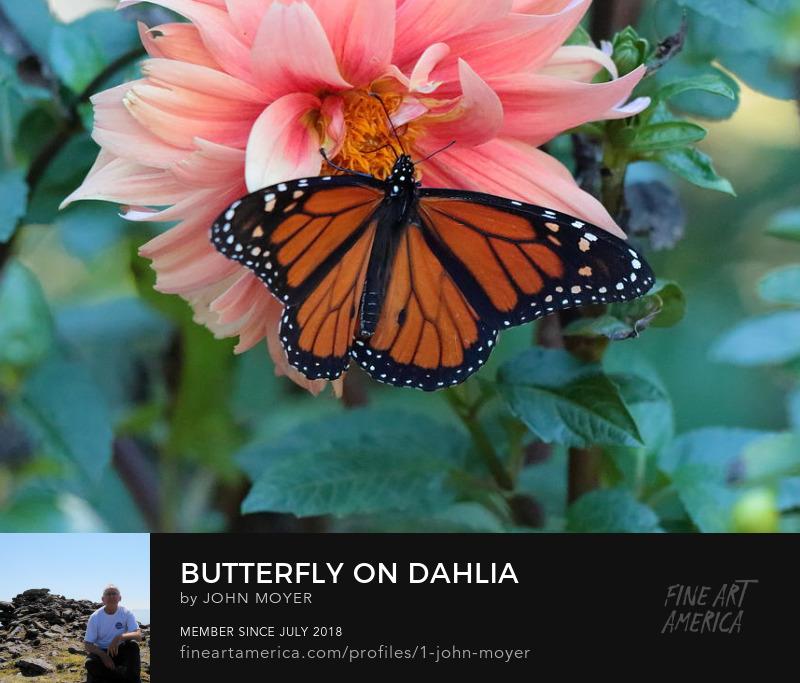 Butterfly on Dahlia