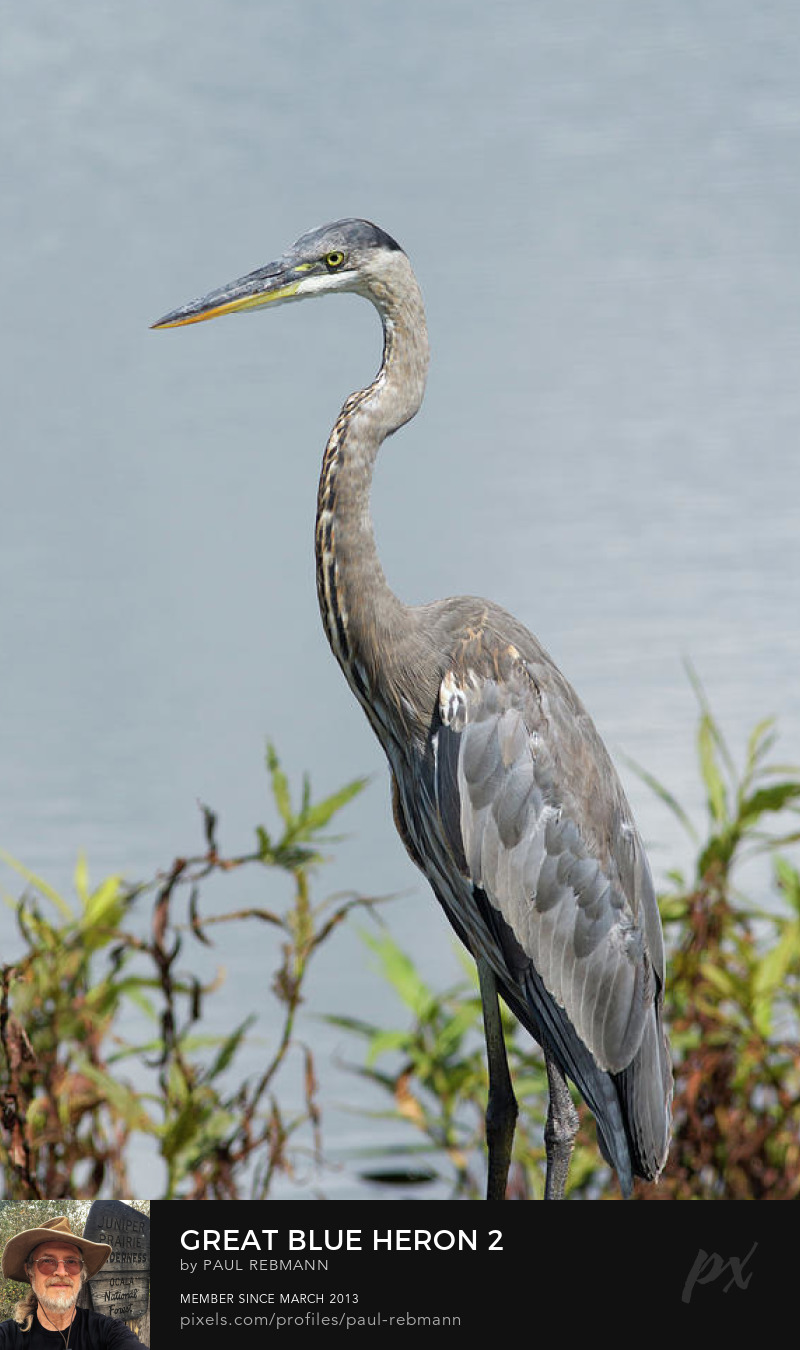 View online purchase options for  Great Blue Heron #2 by Paul Rebmann
