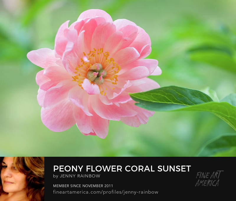 Peony Flower Coral Sunset by Jenny Rainbow