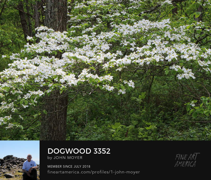 flowering dogwood (Cornus florida) in Shenandoah National Park, May 7, 2017