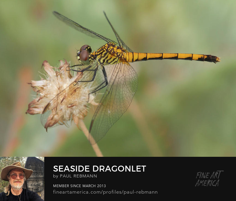 View online purchase options for Seaside Dragonlet by Paul Rebmann