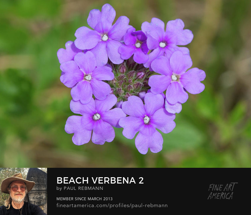 View online purchase options for Beach Verbena #2 by Paul Rebmann