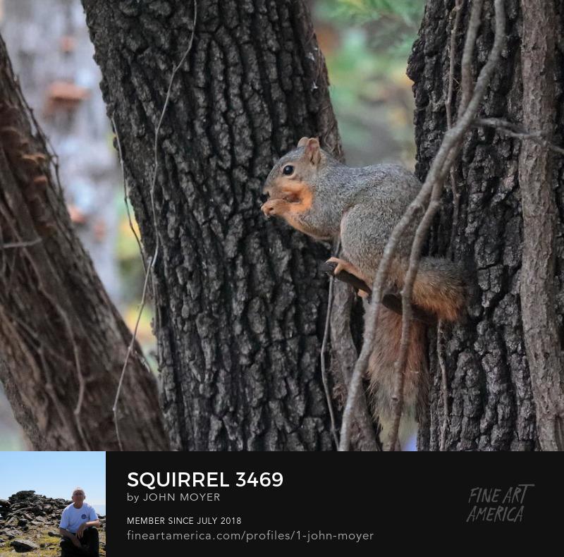 Fox squirrel (Sciurus niger) in Oklahoma, United States, October 30, 2018