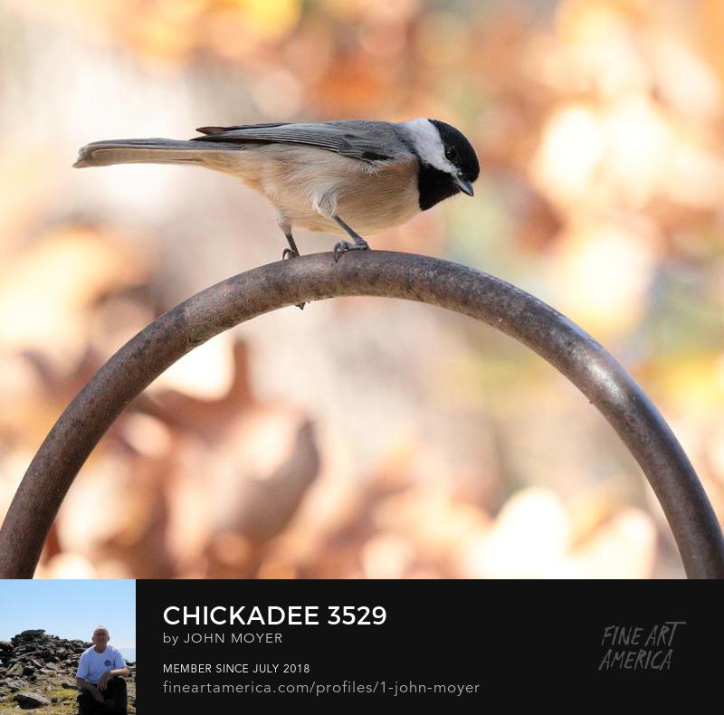 Carolina Chickadee (Poecile carolinensis), November 5, 2018, Norman, Oklahoma, United States