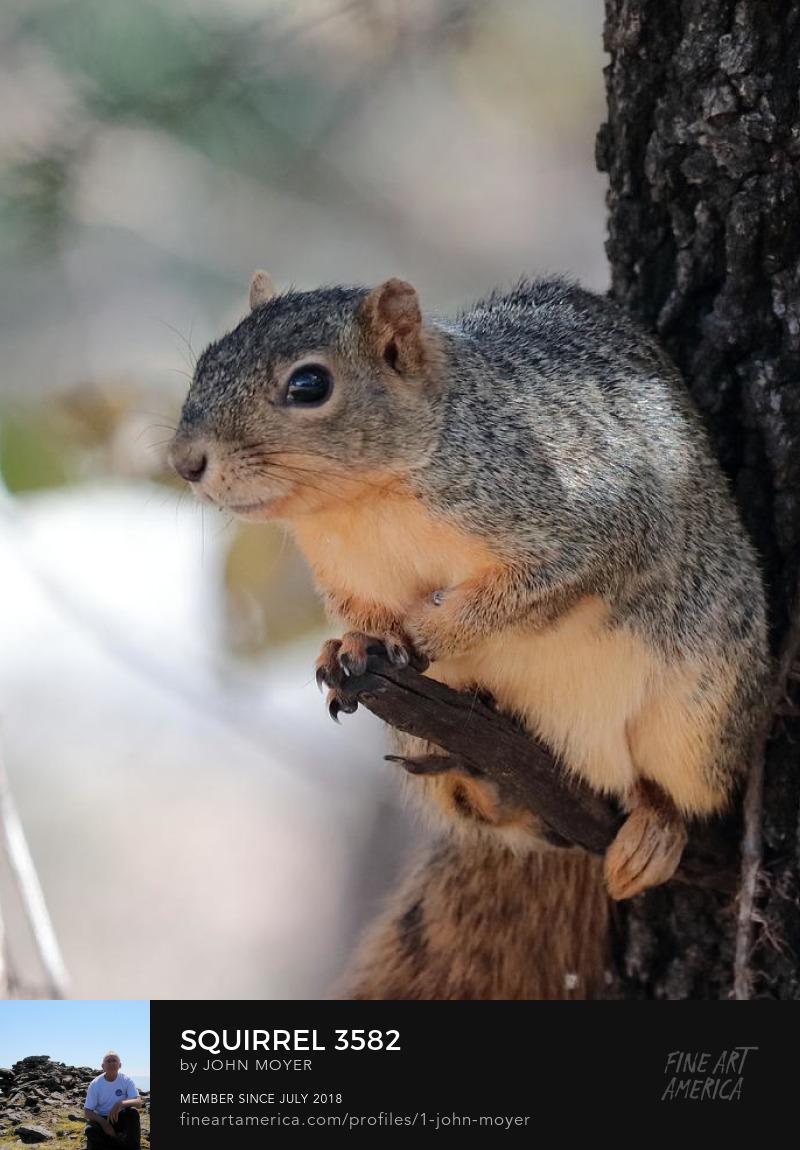 Fox squirrel (Sciurus niger), November 9, 2018, Norman, Oklahoma, United States