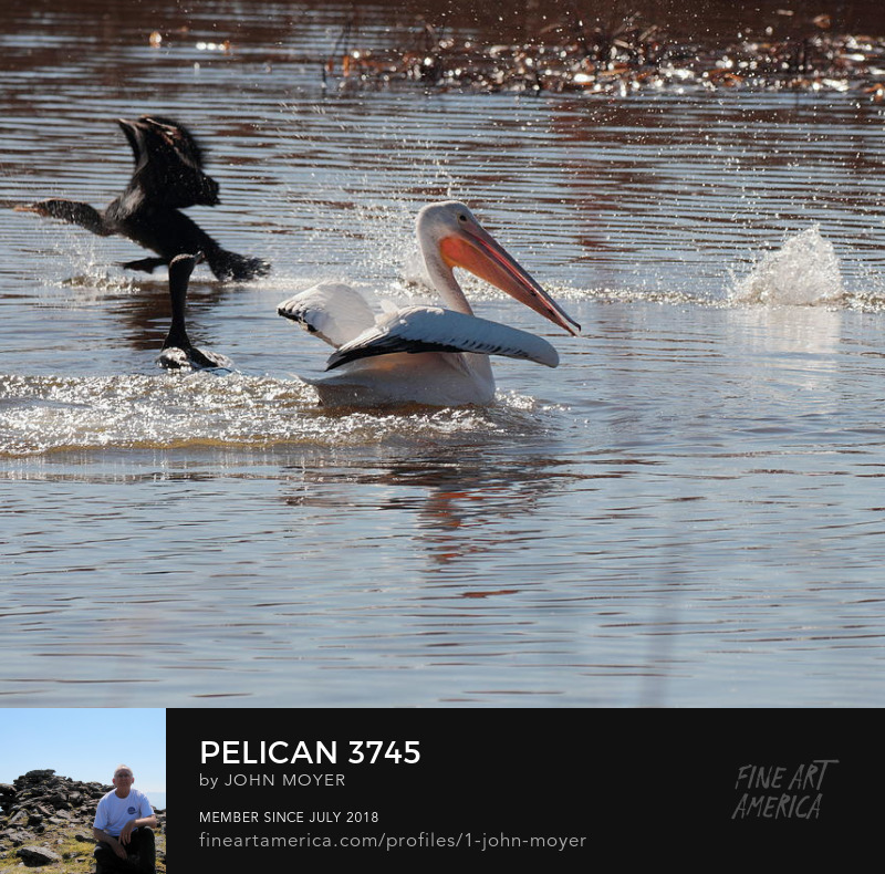 American White Pelican (Pelecanus erythrorhynchos) and Double-crested Cormorants (Phalacrocorax auritus) at Great Salt Plains National Wildlife Refuge, November 15, 2018