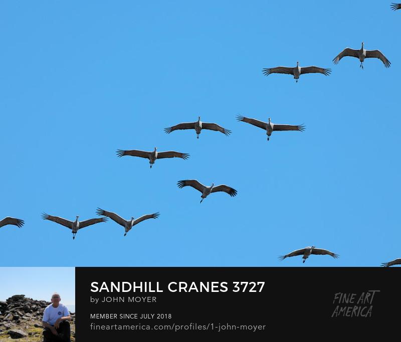 Sandhill Cranes (Antigone canadensis) at Great Salt Plains National Wildlife Refuge, November 15, 2018