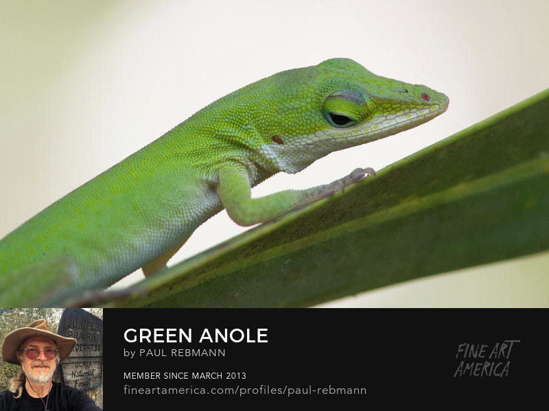 View online purchase options for Green Anole by Paul Rebmann