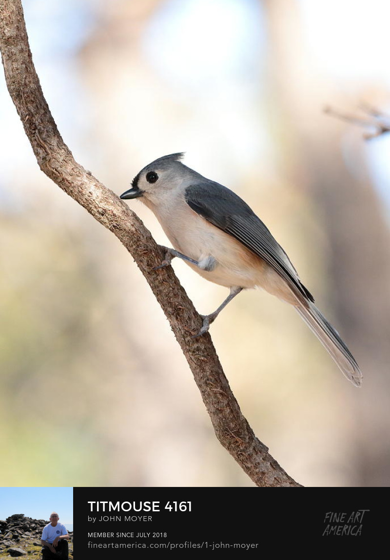 Tufted Titmouse (Baeolophus bicolor), November 29, 2018, Norman, Oklahoma, United States