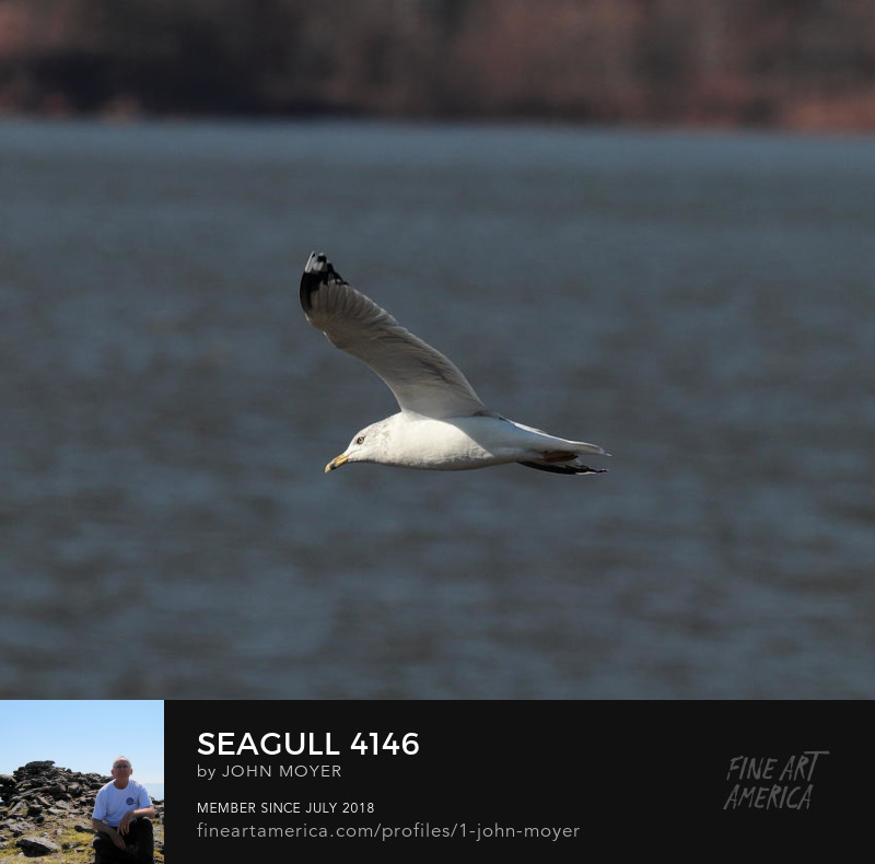 Ring-billed Gull (Larus delawarensis) at Lake Thunderbird State Park, November 29, 2018, Oklahoma, United States