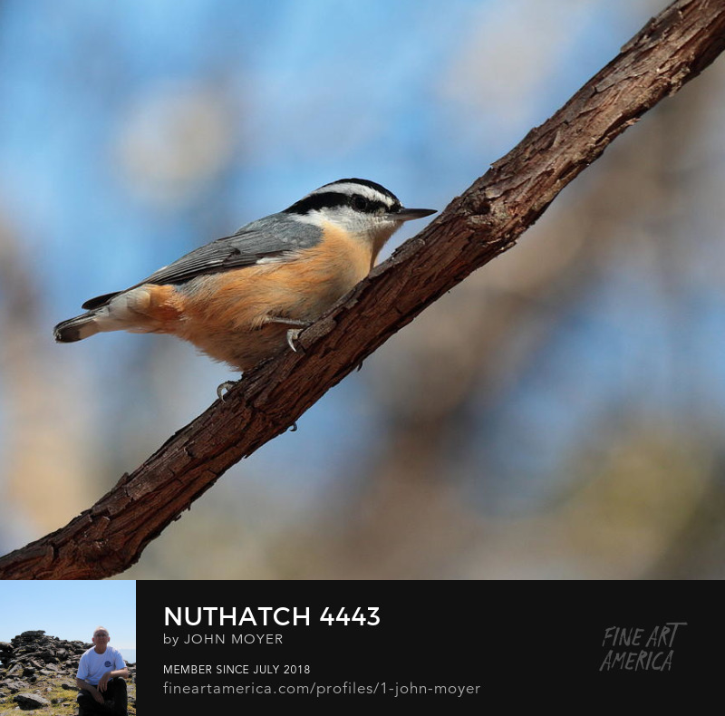 Red-breasted Nuthatch (Sitta canadensis), December 15, 2018, Norman, Oklahoma, United States
