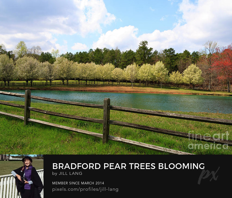 Bradford Pear Trees in Bloom
