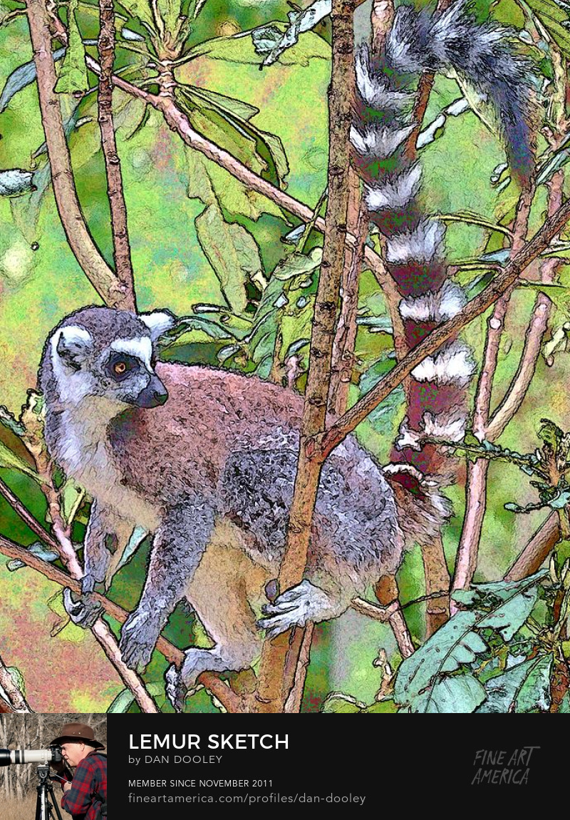 Ring Tailed Lemur photo sketch print.  Available for sale.