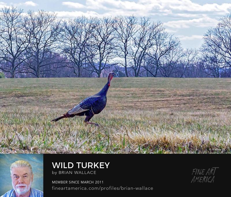 Wild Turkey by Brian Wallace