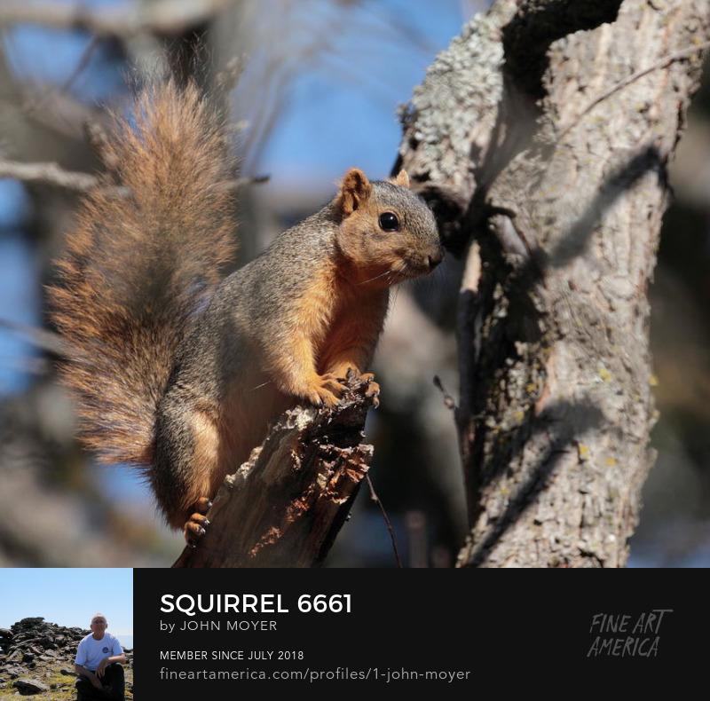 Fox squirrel (Sciurus niger), Norman, Oklahoma, United States, March 16, 2019