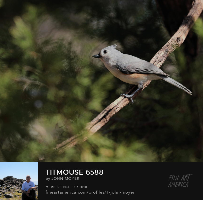 Tufted Titmouse (Baeolophus bicolor), Norman, Oklahoma, United States, March 16, 2019