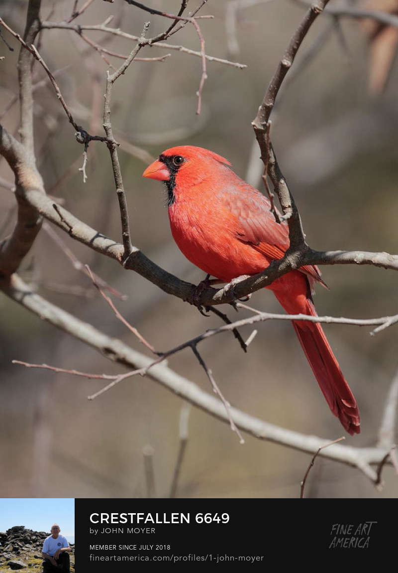 Northern Cardinal (Cardinalis cardinalis), Norman, Oklahoma, United States, March 16, 2019