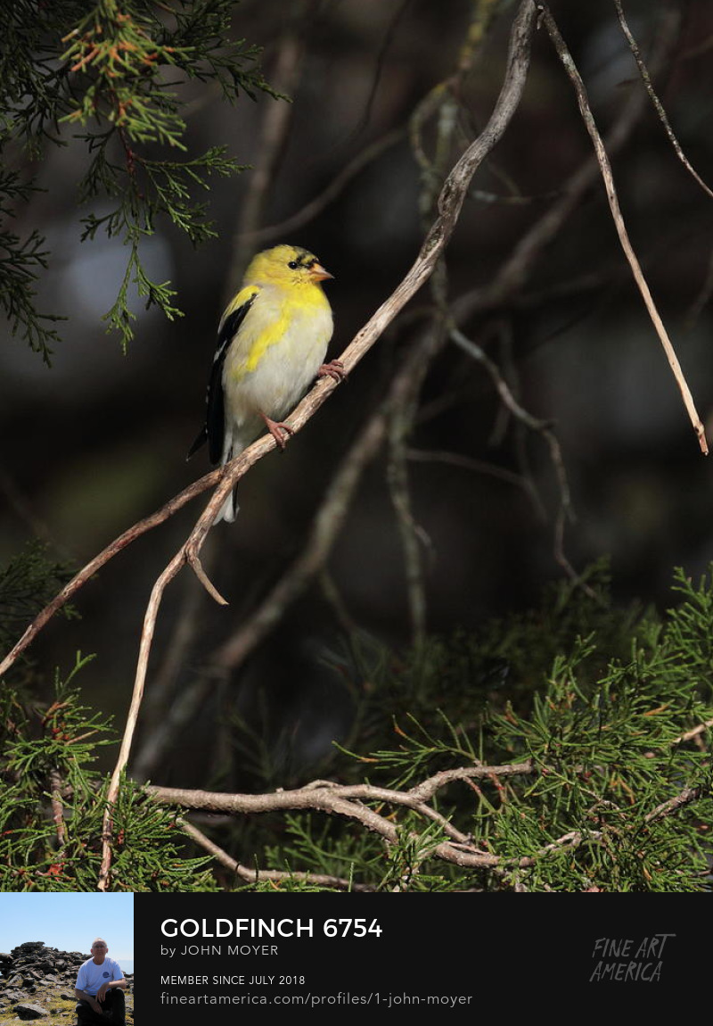 American Goldfinch (Spinus tristis), Norman, Oklahoma, United States, March 28, 2019