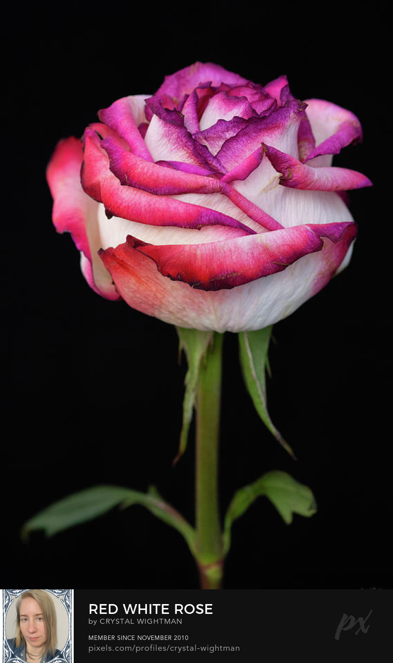 A red and white rose against a black background.