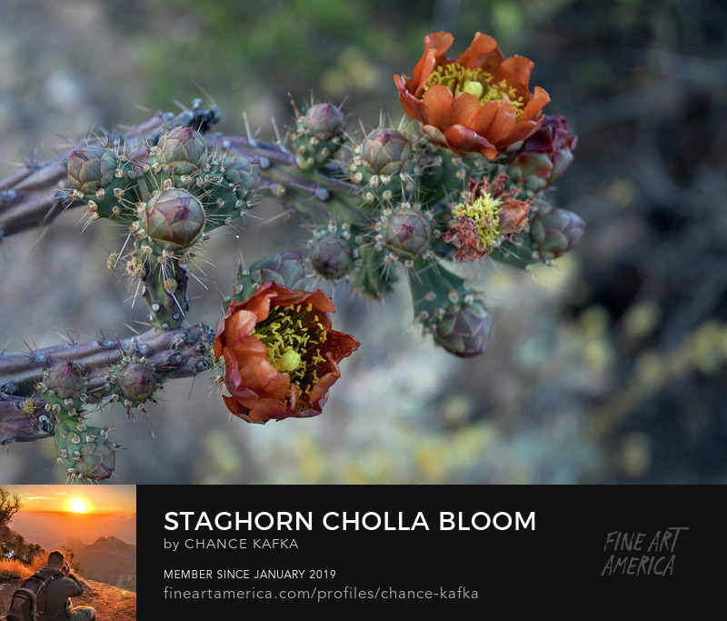 staghorn-cholla-bloom-chance-kafka Photography Prints