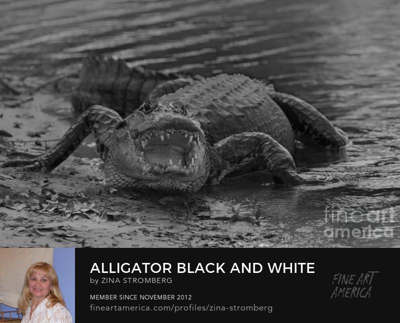 Alligator black and white by Zina Stromberg