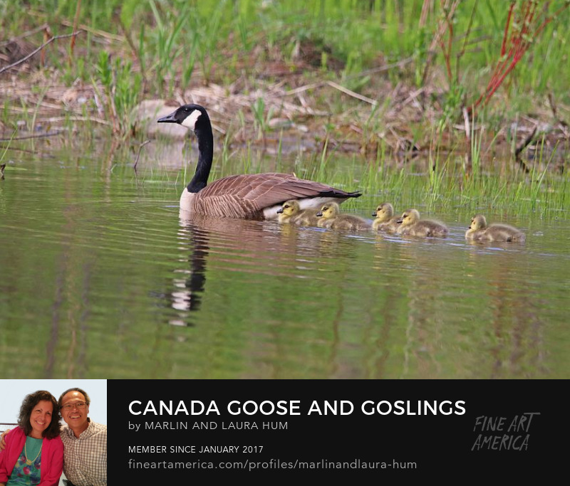 Canada Goose and Goslings by Marlin and Laura Hum