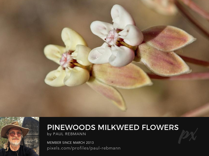 View online purchase options for Pinewoods Milkweed Flowers by Paul Rebmann