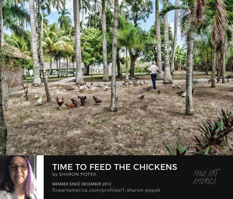Chicken Art Photography Prints