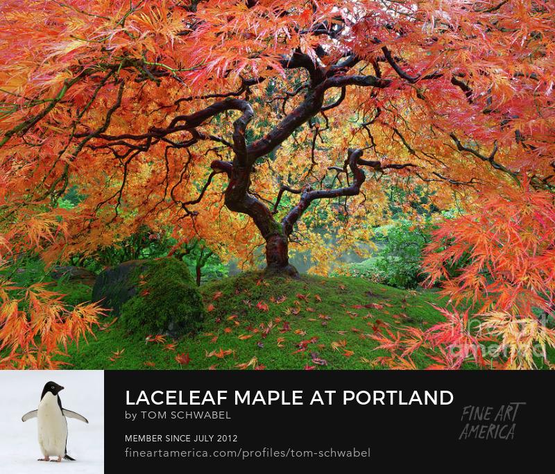 Laceleaf Japanese Maple in Autumn at Portland Japanese Garden