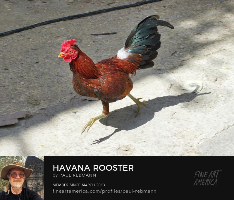 View online purchase options for Havana Rooster by Paul Rebmann